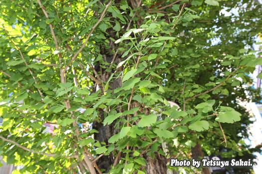 秋葉原ウォッチング:銀杏の若葉